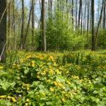 Wiosenna puszcza. / A spring forest.